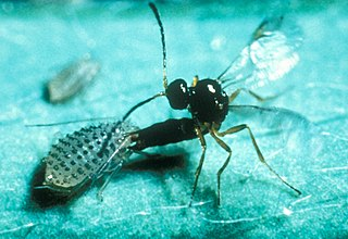 Parasitoid Organism that lives with host and kills it