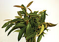 CSIRO ScienceImage 3845 Fresh Lemon Myrtle Leaves Backhousia citriodora.jpg