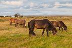 Caballos pastando en Vogar, Suðurnes, Islandia, 2014-08-15, DD 111.JPG