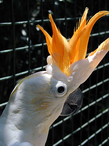 Citron-crested Cockatoo. Photograph of upper b...