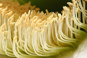 Pollen - Closeup image of a cactus flower and its stamens