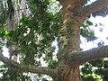 Caesalpinia echinata - Jardim Botânico de São Paulo - IMG 0373.jpg