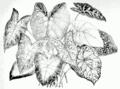 Caladium spp.png