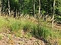 Calamagrostis arundinacea kz11.jpg