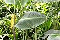 Calathea crotalifera 27zz.jpg