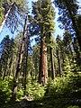 Calaveras Big Trees State Park - South Grove, CA - panoramio (4).jpg