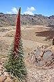 Caldera de las Cañadas - Echium wildpretii - 01.jpg