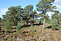 Caledonian pine forest - geograph.org.uk - 1011064.jpg