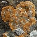 Caloplaca brouardii - Flickr - pellaea.jpg