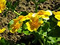 Caltha palustris 5.jpg
