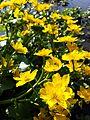 Caltha palustris sl9.jpg