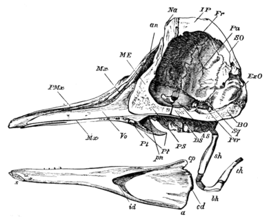 Cambridge Natural History Mammalia Fig 185.png