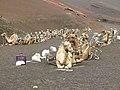 Camelus dromedarius - dromedary - Dromedar - dromadaire - Timanfaya national park - Lanzarote - 01.jpg