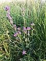 Campanula glomerata subsp. glomerata sl4.jpg