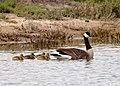 Canada Goose and Goslings (51139744649).jpg