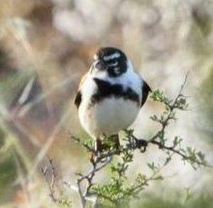 Black-headed canary - Male Damara canary