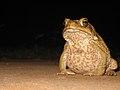 Cane Toad (Bufo marinus) (8240240902).jpg