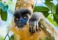 Capped Leaf Monkey or Capped মুখপুড়া হনুমান বা লালচে হনুমান.jpg