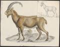 Capra aegagrus - 1700-1880 - Print - Iconographia Zoologica - Special Collections University of Amsterdam - UBA01 IZ21300189.tif
