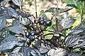 Capsicum annuum Black Pearl 8zz.jpg