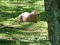 Capybara in Planckendael.jpg