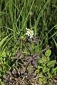Cardamine macrophylla (Brassicaceae) (35380808823).jpg
