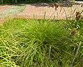Carex cespitosa plant (02).jpg