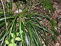 Carex morrowii kansuge001.jpg