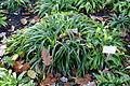 Carex plantaginea - Botanischer Garten Braunschweig - Braunschweig, Germany - DSC04392.JPG