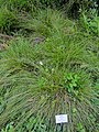 Carex tenera - Botanical Garden, University of Frankfurt - DSC02535.JPG