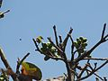 Careya arborea (Wild Guava) with Oriental-white Eye.JPG