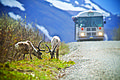 Caribou and Distant Bus (5302034611).jpg