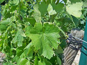 Carignan - Carignan leaf.