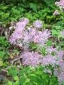 Cascate Nardis - Thalictrum aquilegiifolium.jpg
