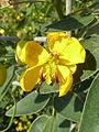 Cassia corymbosa-1.jpg