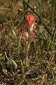 Castilleja brevilobata 4708.JPG