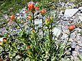 Castilleja miniata budding and flowering - Flickr - brewbooks.jpg
