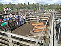 Cattle sale 1.JPG