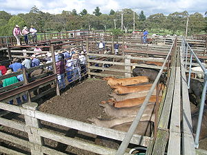 Yard (land) - Grass-fed cattle, saleyards, Walcha, NSW