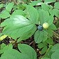 Caulophyllum giganteum SCA-03874.jpg