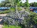Ceanothus at Wrexham road Park and Ride - geograph.org.uk - 801344.jpg