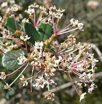 Ceanothus crassifolius 2