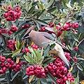 Cedar Waxwing (33209762552).jpg