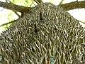 Ceiba pentandra cortex hg.jpg
