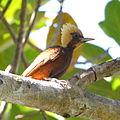 Celeus lugubris Pale-crested Woodpecker.JPG