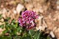 Centranthe rouge-Centranthus ruber-Fleur-20140805.jpg