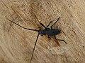 Cerambycidae (Morimus asper) (2).jpg