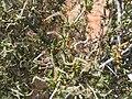 Cercocarpusintricatus.jpg