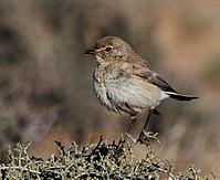 Cercomela tractrac -Bushmanland, South Africa-8.jpg