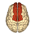 Cerebrum - superior frontal gyrus - superior view.png
